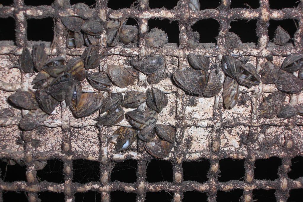 zebra mussels lake texoma