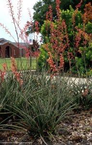 Native Plants   Lantana   AgriLife   NTMWD